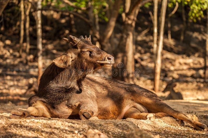 Sambar rogacz w parku przy Tygrysią świątynią, Tajlandia zdjęcie stock