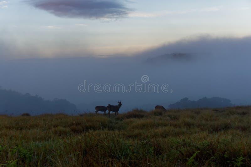 Sambar-Rotwild im Nebel stockbilder