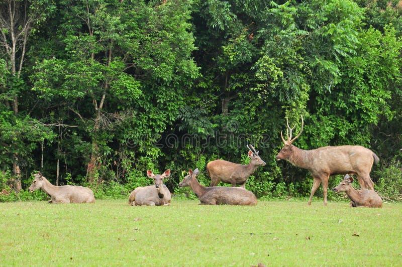 sambar yai för nationalpark för hjortgruppkhao royaltyfri foto