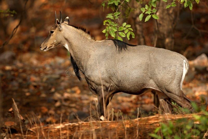 Sambarherten, het éénkleurige, grote dierlijke, Indische subcontinent van Rusa, Rathambore, India Herten, aardhabitat Blaasbalg m stock fotografie