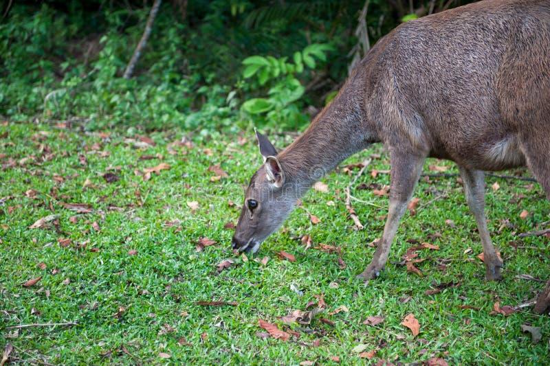 Sambarhjortar på den Khao Yai nationalparken royaltyfri foto