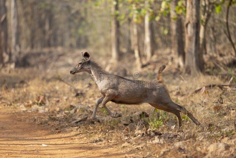 Sambarhjortar som hoppar för att korsa vägen på turisten på maharashtraen för Tadoba tigerreserv, Indien arkivbilder
