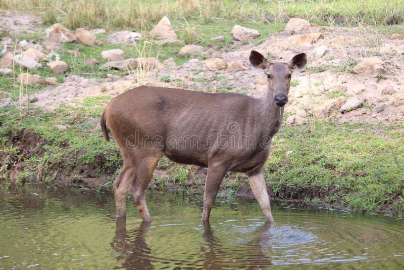 Sambhar hjortbeta och dricksvatten i ett litet damm royaltyfria bilder