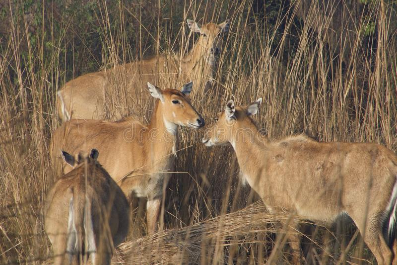 Sambharherten in Wildreservaat stock foto