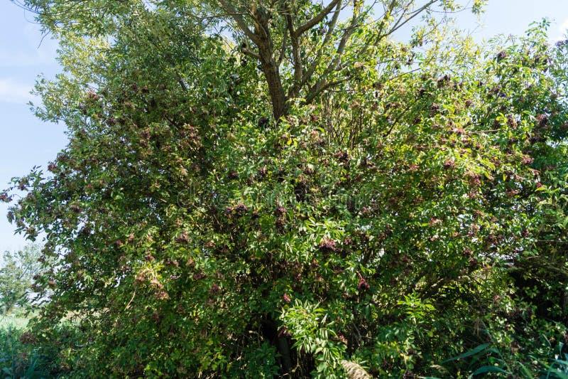 Sambucus de baies de sureau noires photo stock