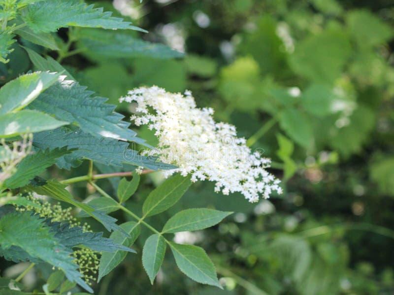 Sambucus kwiatu krzak, także znać gdy starsza osoba, elderberry, czarna starsza osoba, Europejska starsza osoba, Europejski elder zdjęcia royalty free