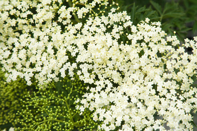 Download Sambucus Nigra; (Black Elder) Stock Photo - Image of green, nigra: 14698634