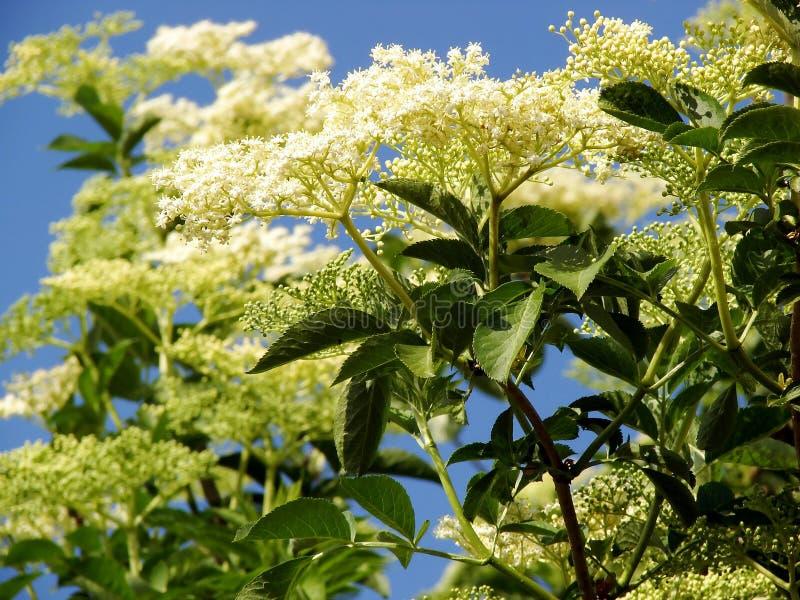 Sambucus nigra or common elder stock photography