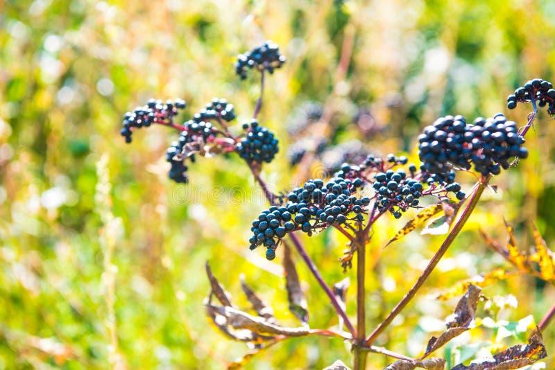 Sambucus nigra lub czarny Elderberry obrazy stock