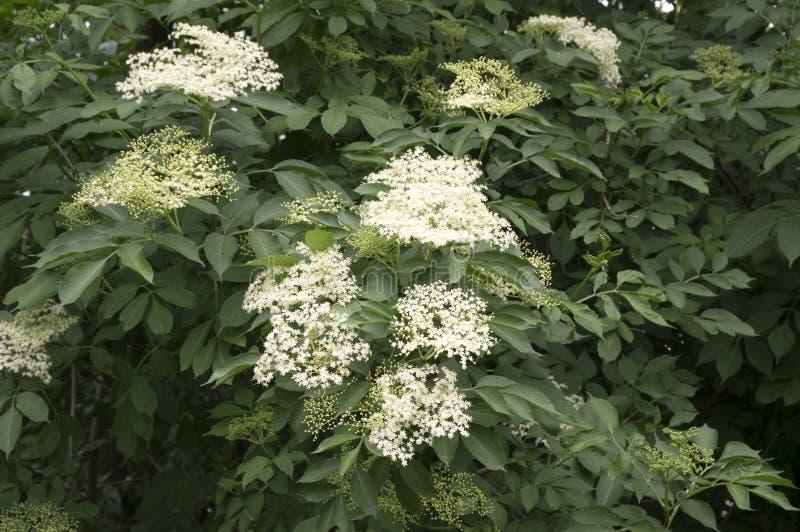 Sambucusnigra in bloei, veel kleine witte bloem stock afbeelding