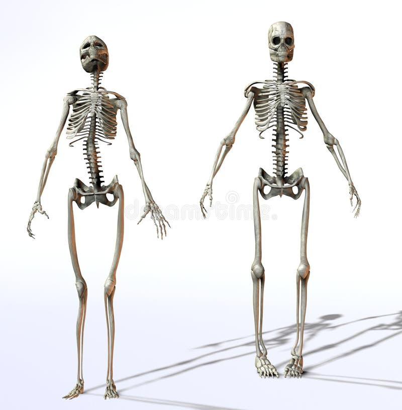 samce płci żeńskiej szkielety ilustracja wektor