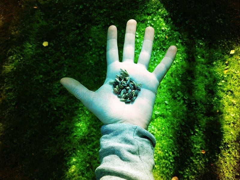 Samen in der Hand Colorized stockfotografie