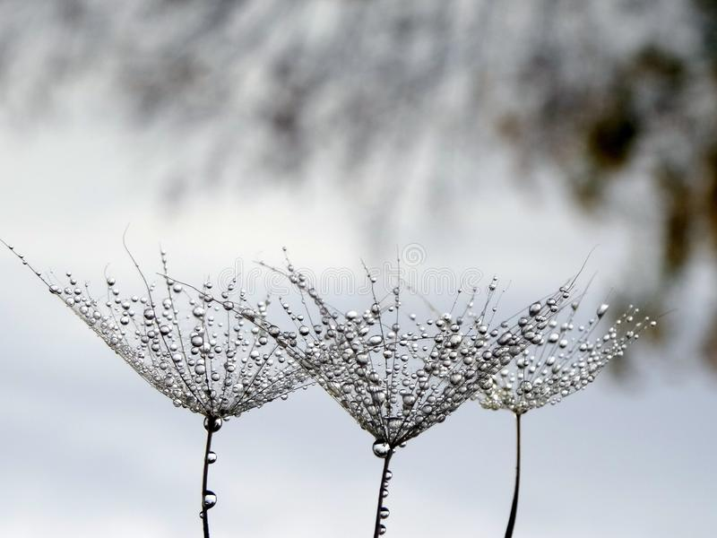 Samen der Löwenzahnblume mit Wassertropfen lokalisiert des natürlichen Hintergrundes lizenzfreie stockfotografie
