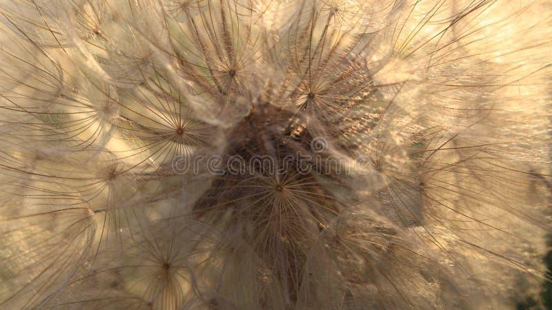 Samen eines großen Löwenzahns lizenzfreies stockbild