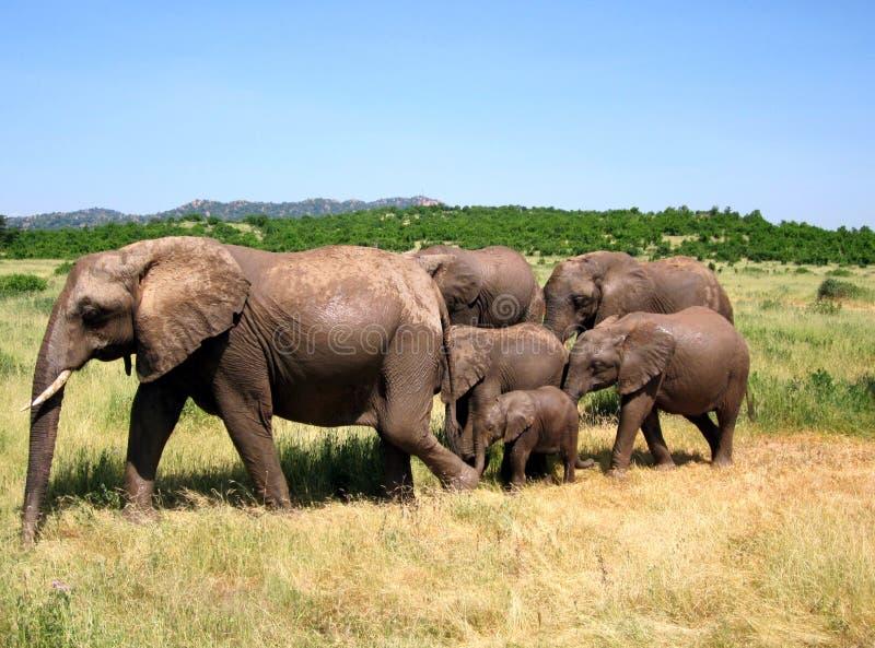 Samenhangende olifant, familie, Tanzania, Ruaha stock foto's