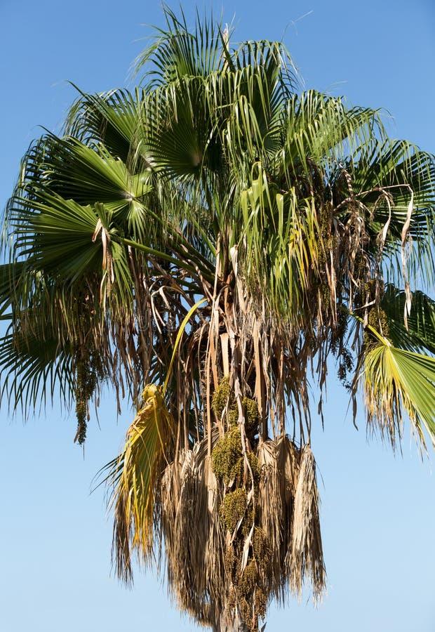 Samenkopf von Bangalow-Palme, stockfotografie