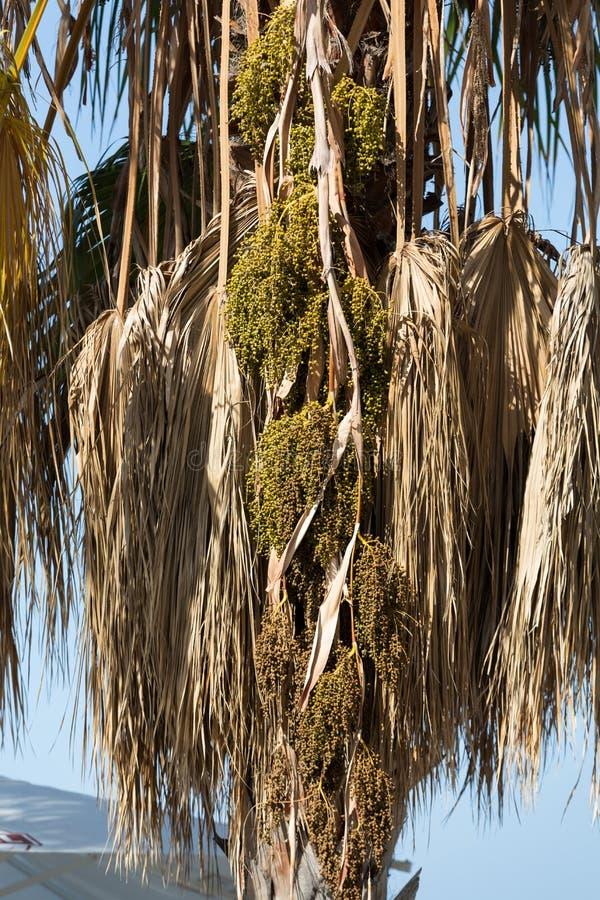Samenkopf von Bangalow-Palme, stockbilder