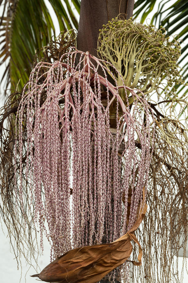 Samenkopf von Bangalow-Palme, lizenzfreies stockbild