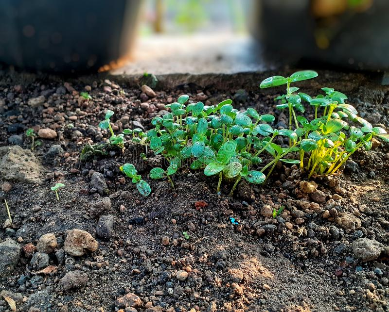 Samenpflanze lizenzfreie stockbilder