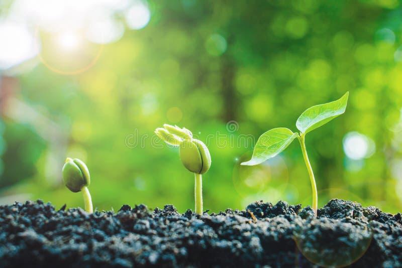 Samenpflanzen sind wachsend lizenzfreies stockbild