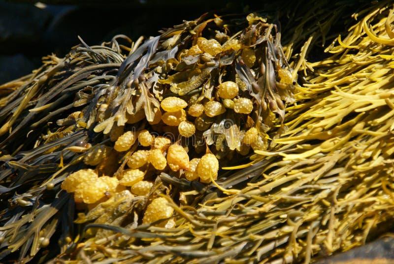 Samenvatting - gele & bruine kelp royalty-vrije stock foto