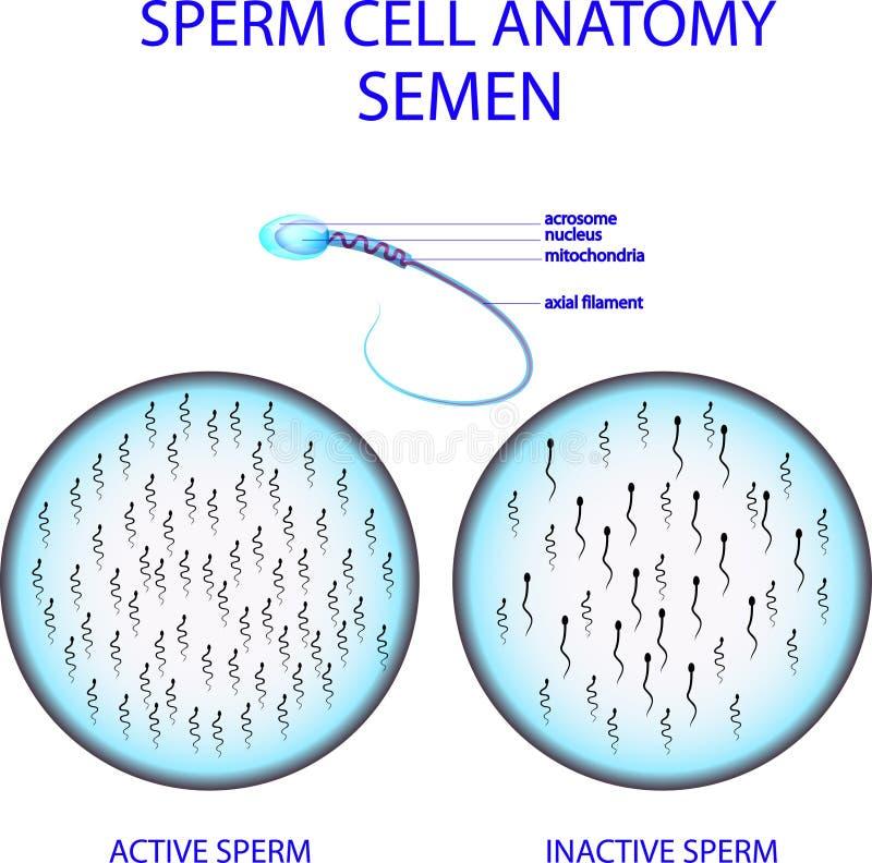 Samenzelleanatomie samen vektor abbildung
