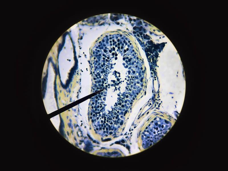 Samenzellen produzierten in der männlichen Testikeltestikel-Anatomiephysiologie stockbild