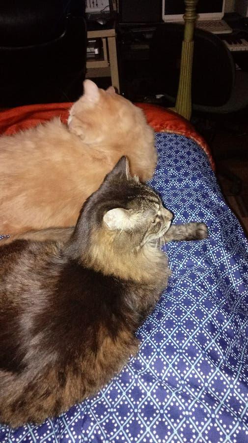 Sami & mästarestrimmig katt och Maine Coon Foster Babies arkivfoton