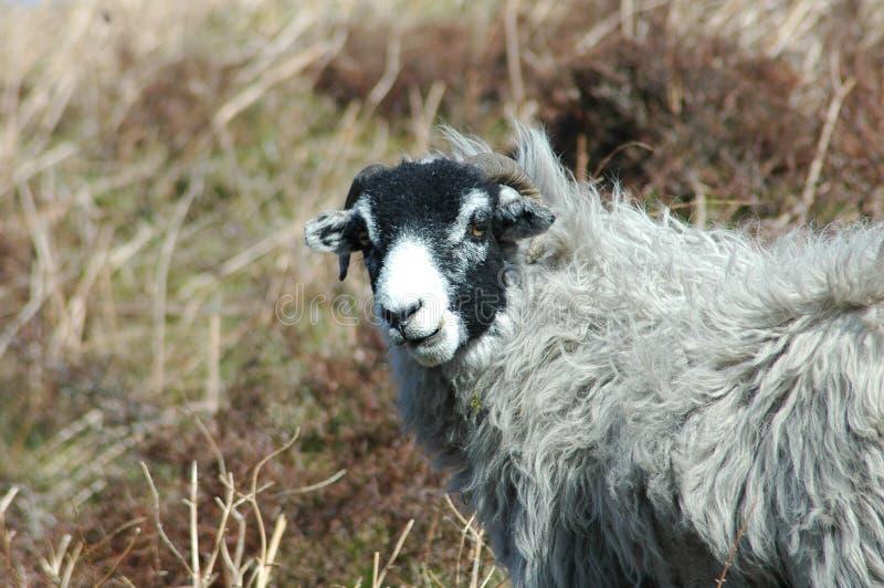 sami owce fotografia stock