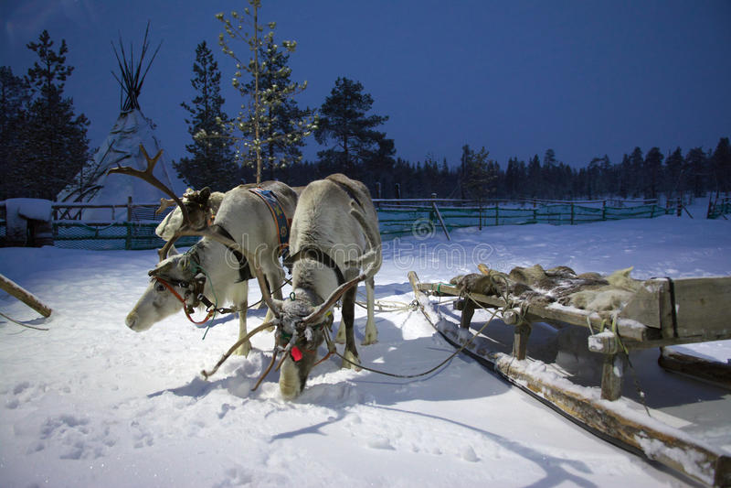 Sami reindeer team in the Sami tent polar night.  stock photo