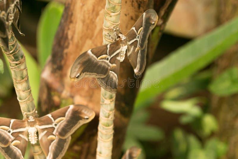 Samia Cynthia SP πεταλούδα νύχτας σκώρων ricini στο ζωολογικό κήπο πεταλούδων στοκ φωτογραφία