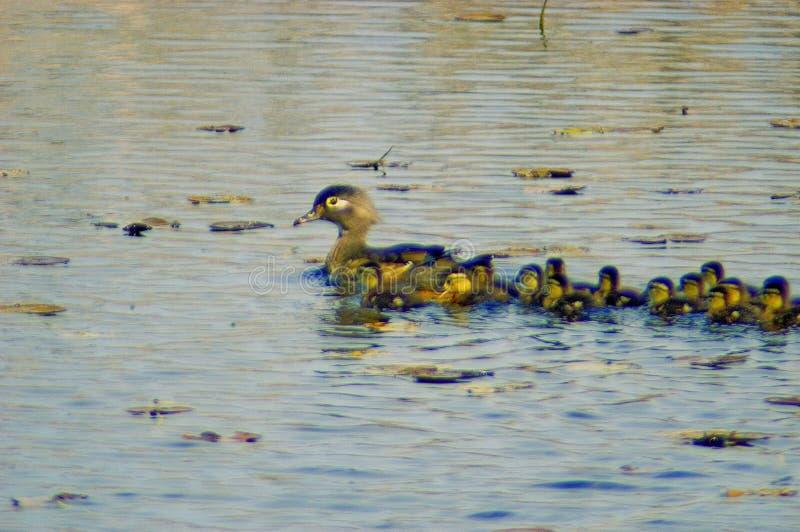 samica kaczki rodziny drewna obrazy royalty free