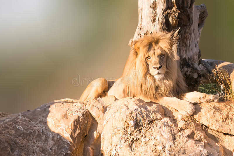 Samiec Angola lwa portreta obsiadanie na skałach z drzewem jako tło zdjęcia royalty free