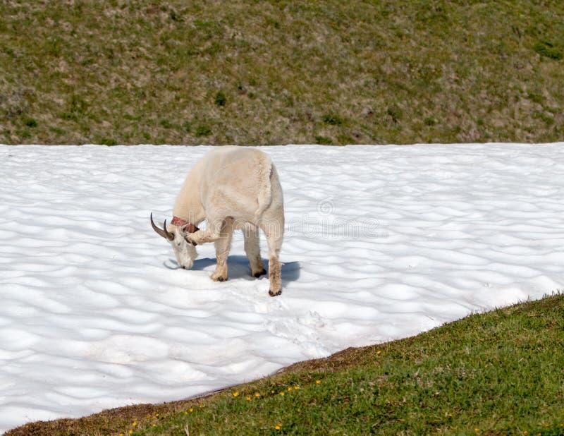 Samiec Billy Halna kózka na śniegu na Huraganowej grani w Olimpijskim parku narodowym w stan washington usa obrazy royalty free