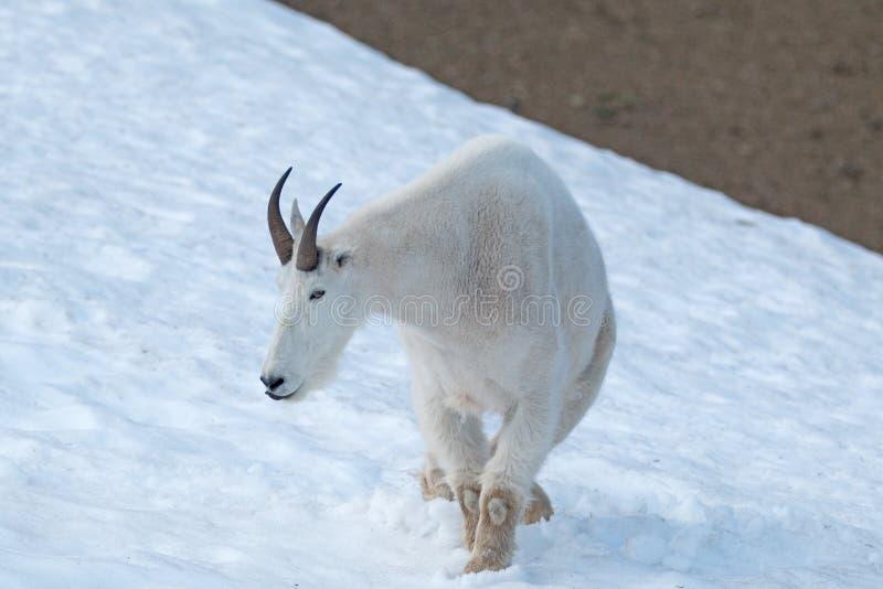 Samiec Billy Halna kózka na śniegu na Huraganowej grani w Olimpijskim parku narodowym w stan washington usa zdjęcie stock