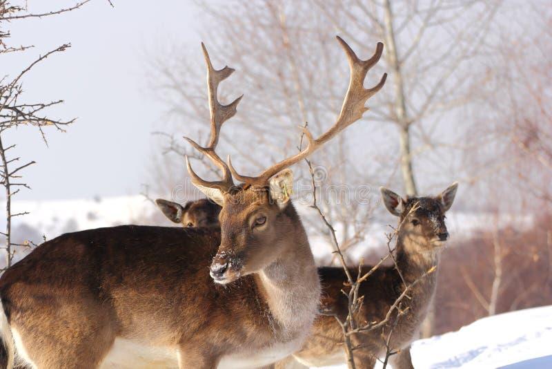samiec dzień jelenia ugorów zima obraz stock