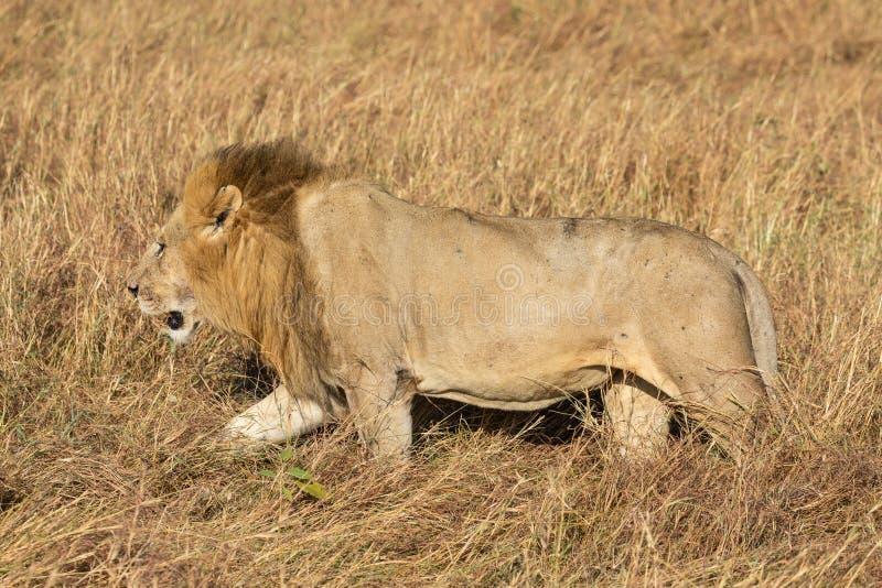 Samiec Elewana lub piaska Rzeczny lew, Leo pantheras w Pełnym ciało profilu, Chodzi w Wysokiej trawie zdjęcie royalty free