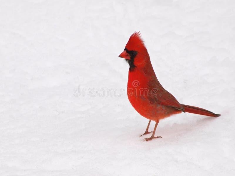 samiec główny śnieg obraz royalty free