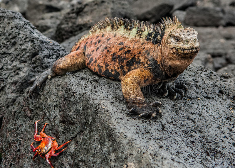 Samiec Galapagos Morska iguana odpoczywa na lawowych skałach obraz royalty free