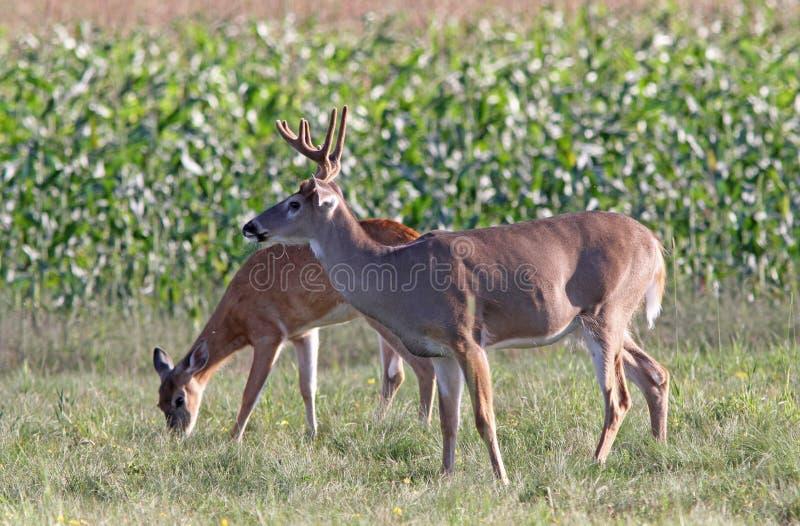 Samiec i królicy Whitetail rogacz obrazy royalty free