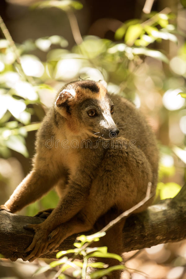 Samiec Koronował lemura, Eulemur coronatus, odpoczywa na winogradu Ankarana rezerwie, Madagascar zdjęcia stock