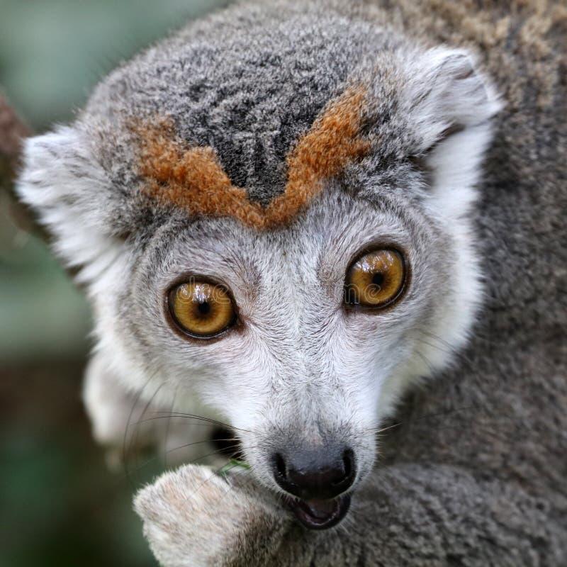 Samiec Koronowany lemur zdjęcia stock