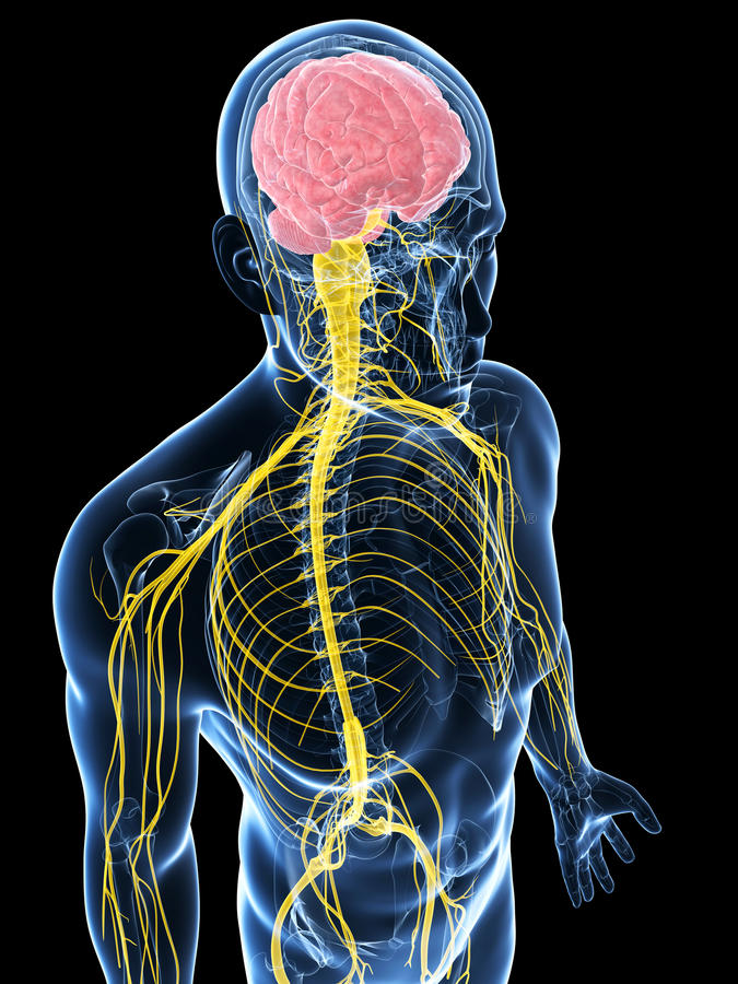 Download Samiec Podkreślał Nerwu System Ilustracji - Ilustracja złożonej z nerw, plexus: 28961923