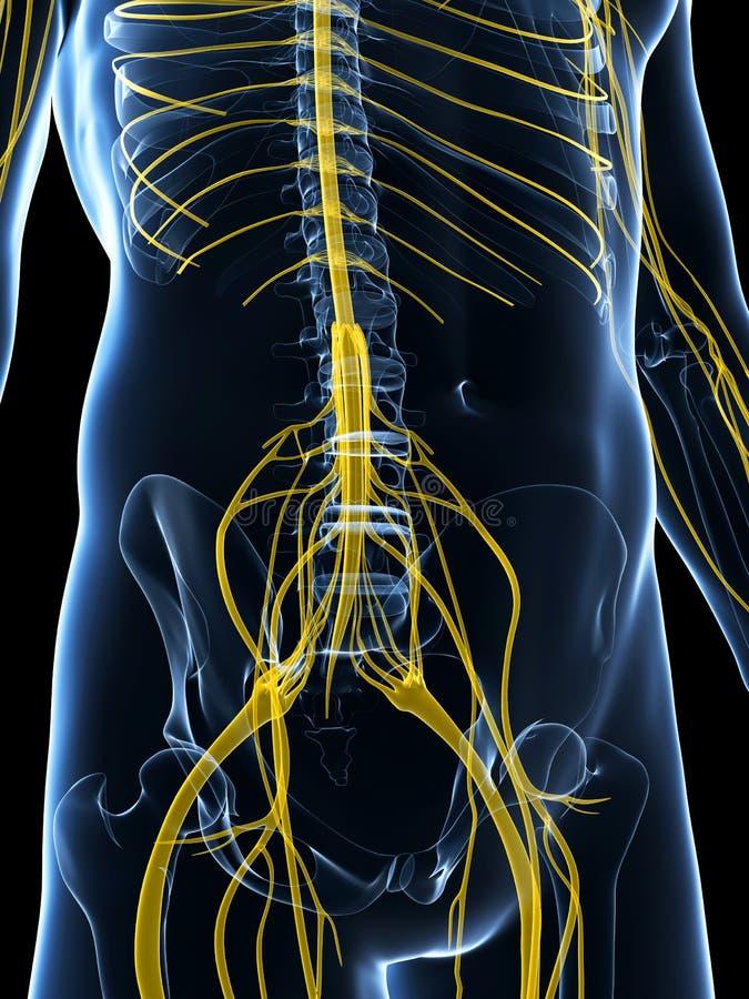 Download Samiec Podkreślał Nerwu System Ilustracji - Ilustracja złożonej z dośrodkowa, anatomiczny: 28961939