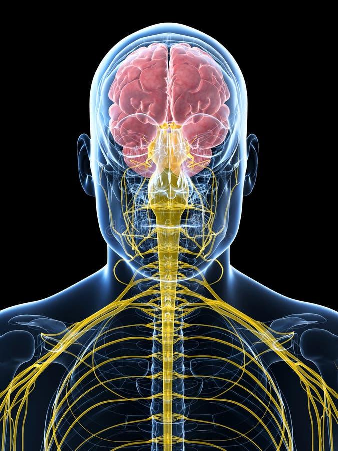 Download Samiec Podkreślający Nerwu System Ilustracji - Ilustracja złożonej z anatomia, biologia: 28961979