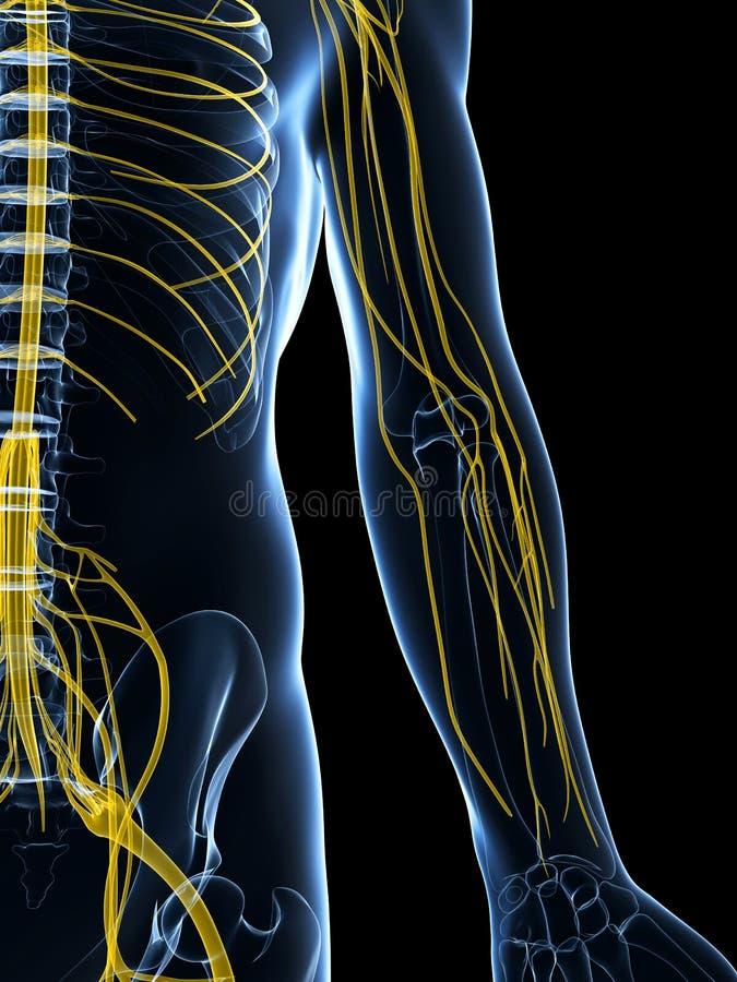 Download Samiec Podkreślający Nerwu System Ilustracji - Ilustracja złożonej z nauka, human: 28962000