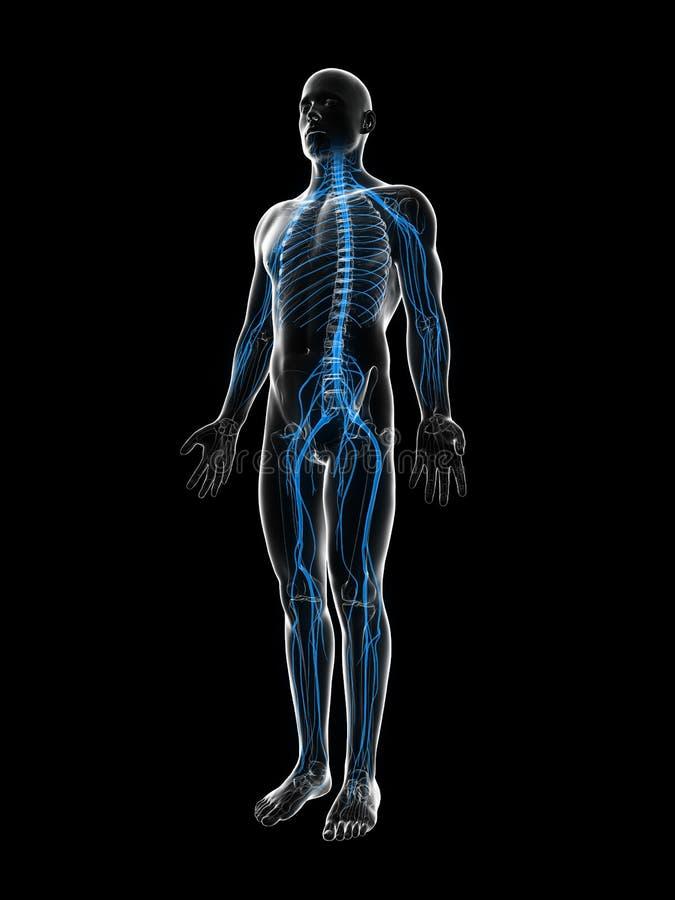 Download Samiec Podkreślający Nerwu System Ilustracji - Ilustracja złożonej z system, ciało: 28962012