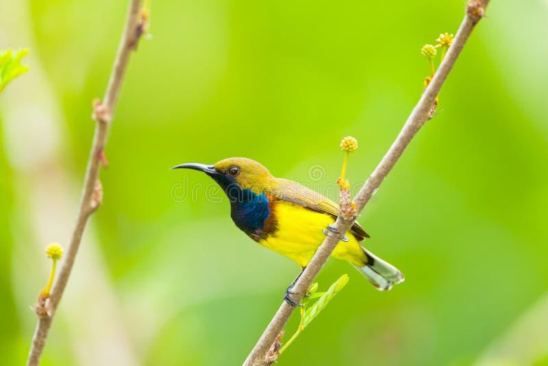 Samiec Popierający sunbird zdjęcia stock