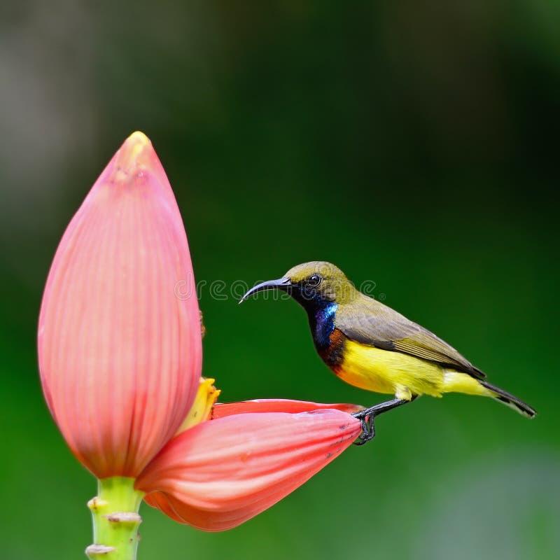 Samiec Popierający Sunbird zdjęcia royalty free