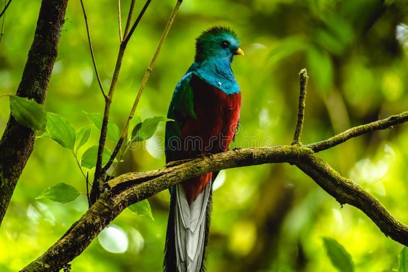 Samiec Resplendent quetzal fotografia stock
